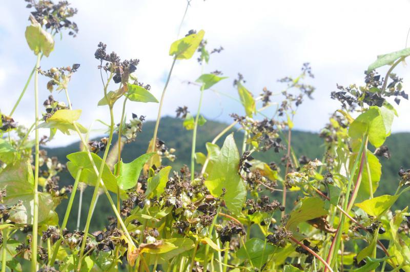 11月ソバの収穫期