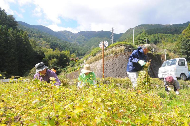 ソバの収穫